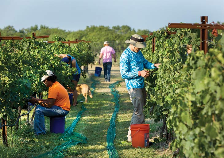 Friends and relatives help harvest the grapes by hand.